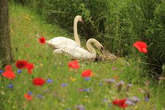 Couple swans with poppies in spring. Couple, male and female swan on the nest with blooming popppies, cornflowers and phacelia along the shore of the pond in Stock Photography
