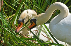 Couple of swans prepares the nest Royalty Free Stock Image