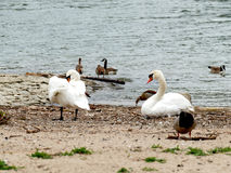 Couple of swans on river bank cleaning feathers with nile geese Royalty Free Stock Image