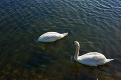 Swans in lake. Couple of swans swimming in lake on bright sunny day Stock Images