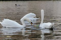 Couple of swans swimming in the river of Bruges royalty free stock photo