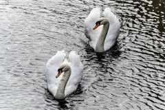 Couple of swans swimming in the river of Bruges royalty free stock photography