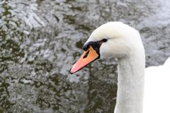 Couple of swans swimming in the river of Bruges stock images