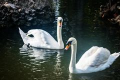 Couple of Swans Stock Photo