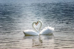 The couple of swans with their necks form a heart. Stock Photos