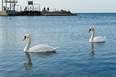 Couple of swans Stock Image