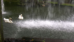 Couple of swans and waterfall in the park. Two white swans swimming slowly in the pond by the waterfall stock video footage