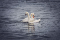 Couple of swans. Couple of white swans in a mating season on the lake Royalty Free Stock Photo