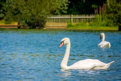 Couple of swans. Couple of white swans swimming in the Ruislip Lido lake in London in summer Royalty Free Stock Images