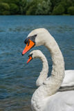 Couple of swans. Couple of white swans swimming in the Ruislip Lido lake in London in summer Royalty Free Stock Photos