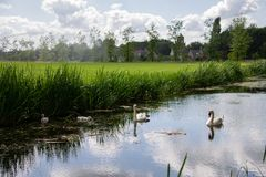 Couple of Swans with young swimming in a canal through the farm fields royalty free stock photos