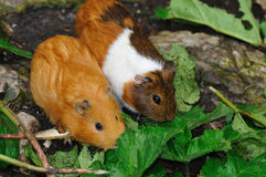 Couple of Syrian hamsters, Mesocricetus auratus royalty free stock images