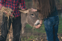 Couple taking care of donkeys outdoor. Young man and woman in a farm feeding happy donkeys Royalty Free Stock Images