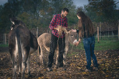 Couple taking care of donkeys outdoor. Young men and women in a farm feeding happy donkeys Stock Images