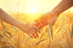 Couple taking hands and walking on golden wheat field. Over beautiful sunset