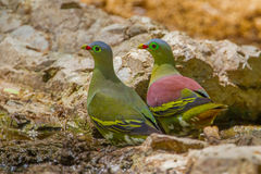 Couple of Thick-billed Green Pigeon Royalty Free Stock Image