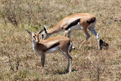 Couple of Thomson's gazelle Royalty Free Stock Photo