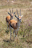 Couple of Thomson's gazelle Royalty Free Stock Photography