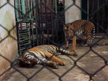 Couple of tigers in captivity inside a cage. stock images