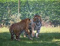 Couple of tigers look like fighting in an open area. Couple of tigers look like fighting in an open area/ carnivores/ dangerous Royalty Free Stock Images