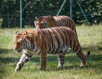 A couple of tigers walking on the grass. One blurred in the background. royalty free stock image