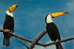 Couple of toco toucans sitting on dry tree branch Royalty Free Stock Images
