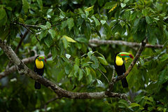 Couple of toucans hidden in the forest. Pair of bird on the tree. Toucan sitting on the branch in forest, green vegetation, Costa Royalty Free Stock Photography