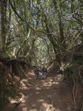 Couple of tourist walking holding hand on Sendero de los Sentido. S mystery primary Laurel forest Laurisilva rainforest with old green mossed tree and footpath Royalty Free Stock Image