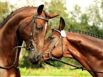 Couple trakehner stallions Stock Photography