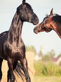 Couple of Trakehner stallions in meadow Royalty Free Stock Photo