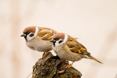 Couple tree sparrows on a stick Stock Photos