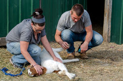 Couple trimming nails on farm goat Royalty Free Stock Photo
