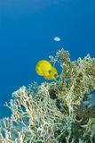 A couple of tropical Masked Butterflyfish. Stock Images