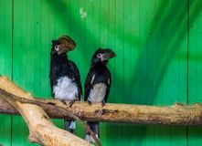 Couple of trumpeter hornbills sitting on a tree branch, tropical bird specie from Africa stock image