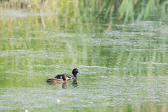 Couple tufted duck Royalty Free Stock Photos