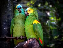 Couple of Turquoise-Fronted Amazons Amazona aestiva in Love Royalty Free Stock Photography