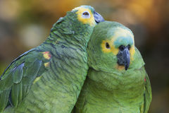 Couple of Turquoise-fronted Parrots. Portrait of a couple of Turquoise-fronted or Amazon Parrots (Amazona aestiva Royalty Free Stock Photos
