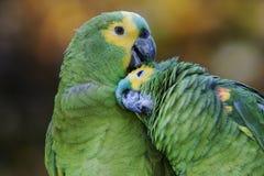 Couple of Turquoise-fronted Parrots. Portrait of a couple of Turquoise-fronted or Amazon Parrots (Amazona aestiva Stock Images