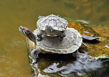 Couple Turtle Royalty Free Stock Images