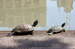 A couple of turtle taking sunbath Stock Photos