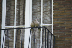 Couple of turtledoves on the balcony ( Streptopelia turtur ). A cute couple of turtledoves making love on the balcony Royalty Free Stock Images