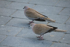 Couple of turtledoves. A couple of turtledoves on tiles Royalty Free Stock Photography