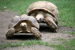 Couple of Turtles. Two turtles walking after each other stock images