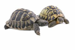 Couple of Turtles Stock Photo
