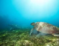 Couple turtles in deep water Stock Photography