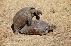 Couple of turtles making love in the centre of Ath Stock Image