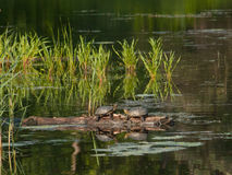 Couple of turtles sitting on a log Stock Photography