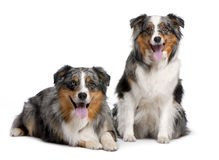 Couple of two australian shepherd panting Royalty Free Stock Photo