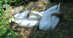 Couple Of Two Beautiful Mute Swans In Their Nest. Couple Of Two Beautiful Mute Swans Cygnus Olor In Their Nest. Closeup Detail - DCi 4K Resolution stock footage