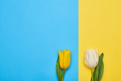 Couple of two different spring tulips isolated Royalty Free Stock Images